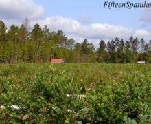 HarriettsBluffFarmBlueberries