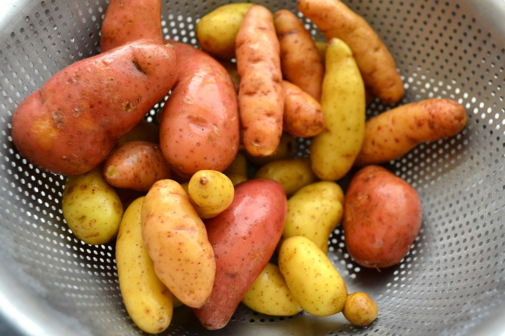 Fingerling Potatoes in Metal Colander in Assorted Sizes and Yellow and Red Colors