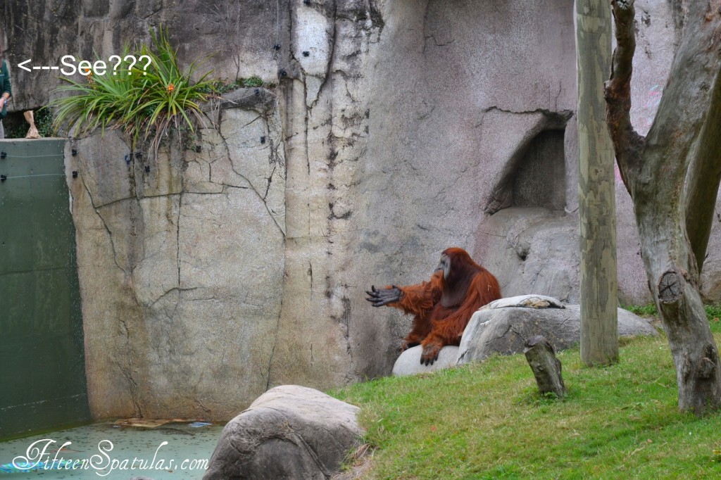 Orangatang at NOLA Zoo